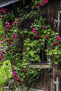 Climbing Roses Posters - The Old Barn Window Poster by Debra and Dave Vanderlaan