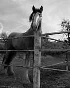 Hoofs Prints - The Old Mare Print by Glenn McCarthy Art and Photography