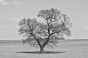 Steev Stamford Framed Prints - The old Oak - mono Framed Print by Steev Stamford