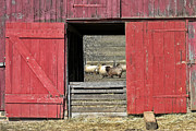 Traditional Doors Posters - The Old Sheep Barn Poster by Olivier Le Queinec