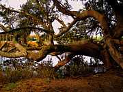 Trees And Palm Trees - The Old Tree at the Ashley River in Charleston by Susanne Van Hulst