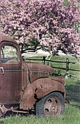 Cherry Blossoms Photo Prints - The Old Truck and the Crab Apple Print by Edward Fielding