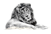 Lion Drawings Acrylic Prints - The Old Warrior Acrylic Print by Denise Wood