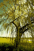 Photo Art Print Prints - The Old Willow Print by Bonnie Bruno