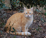 Rderder Photos - The Orange Tabby Cat by Roy Erickson