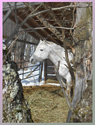 Patricia Keller Framed Prints - The Paso Fino Stallion at Home Framed Print by Patricia Keller