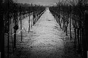 Chianti Vines Prints - The path Print by Emma Hart