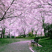 Cherry Blossoms Framed Prints - The Path Framed Print by Mitch Cat