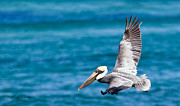 Michelle Wiarda - The Peaceful Pelican