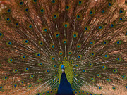 Peacock Photo Metal Prints - The Peacock 2 Metal Print by Ernie Echols