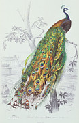 Bird Drawing Prints - The Peacock Print by A Fournier
