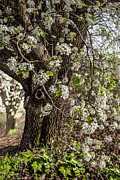 Flowering Vines Posters - The Pear Tree Poster by Debra and Dave Vanderlaan
