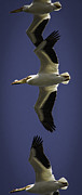 Flying White Pelicans Posters - The Pelican Line Up Poster by Thomas Young