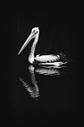 Chordata Framed Prints - The Pelican Framed Print by Zoe Ferrie