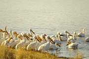 Shore Birds Posters - The Pelicans Of Medicine Lake Poster by Jeff  Swan