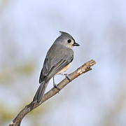 Snag Framed Prints - The Perching Tufted Titmouse Framed Print by Lara Ellis