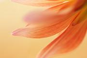 HJBH Photography - The petals of a dahlia
