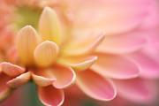 HJBH Photography - The petals of a gerbera