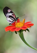 Florida Flower Posters - The Piano Key Butterfly Poster by Sabrina L Ryan
