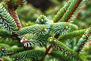 Pine Needles Photo Originals - The Pine  by Peggy Lanford