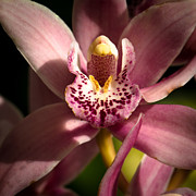 Anthers Prints - The Pink Orchid Print by David Patterson