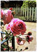 Aperture Framed Prints - The Pink roses and the white picket fence Framed Print by Amy Delaine