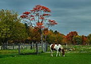Autumn Farm Scenes Prints - The Pinto Print by Julie Dant