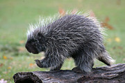 Cheryl Cencich Art - The porcupine walk by Cheryl Cencich