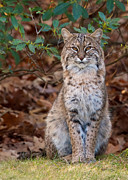 Bobcat Framed Prints - The Pose Framed Print by Dale J Martin