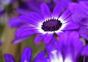 The Purple Daisy Print by Sabrina L Ryan