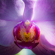 Spring Florals Posters - The Purple Orchid Poster by David Patterson
