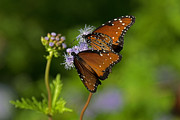Tim Moore Metal Prints - The Queen Butterflies Metal Print by Tim Moore