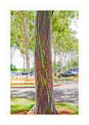 Sheds Posters - The Rainbow Eucalyptus Tree Poster by MaryJane Armstrong