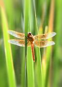 Saija  Lehtonen - The Red Dragonfly