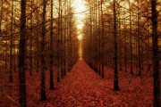 Fall Trees Posters - The Red Forest Poster by Amy Tyler