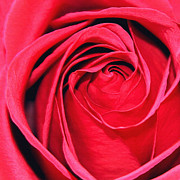 The Red Rose Blooming Print by Karon Melillo DeVega