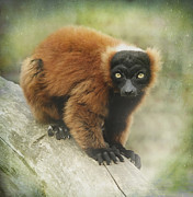 Red-ruffed Lemur Posters - The red ruffed lemur  Poster by Roy McPeak