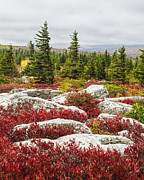 Bear Rocks Prints - The Reds and Greens of Dolly Sods WIlderness in West Virginia Print by Bill Swindaman