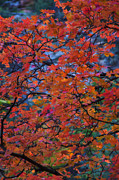 Red Leaves Posters - The Reds of Autumn  Poster by Saija  Lehtonen