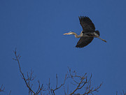 Great Migration Posters - The Return of the Great Blue Heron Poster by Thomas Young