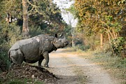 The Rhino At Kaziranga Print by Fotosas Photography