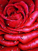 Wall Art Prints Drawings - The Rose of a Thousand Tears by Tony Nixon