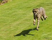 Cheetah Running Prints - The Running Cheetah Print by Timothy Lee