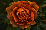 Orange And Green Framed Prints - The Rusty Orange Rose Flower   Framed Print by Jennie Marie Schell