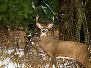 Whitetail Deer Posters - The Rutting Whitetail Buck Poster by Thomas Young