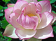 Plant Greeting Cards Prints - The Sacred Lotus  Print by Carol  Skinner