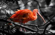 Swift Family - The Scarlet Ibis