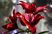 Spring Florals Photos - The Scarlet Lily by David Patterson