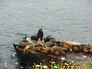 Harem Metal Prints - The Sea Lion and His Harem Metal Print by Mary Machare