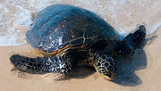 Hawaii Sea Turtle Art - The Sea Turtle by Ron Regalado